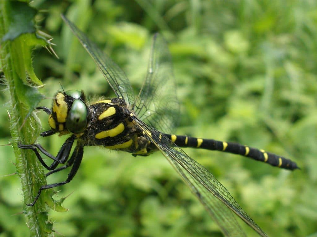 Cordulie splendide libellule tachetée
